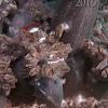 Peacock Tail Anemone Shrimp