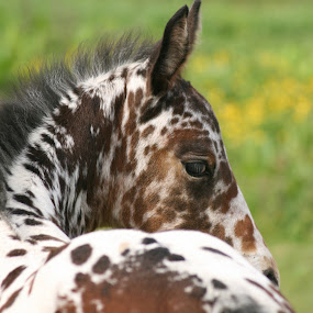 Oor Ally Bally Bee by Marty Paterson - Animals Horses ( scotland, spotted, horse, appaloosa, foal,  )