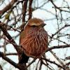 Rufous-crowned (Purple) Roller