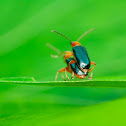 Rice Leaf Beetle