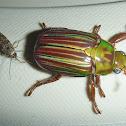 Moth feeding on a Scarab