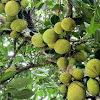 Jackfruit or nangka