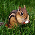 Chipmunk Live Wallpaper logo