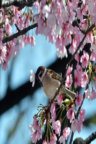Japanese cherry Wallpapers HD