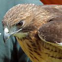 Red-tailed Hawk (female)