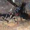 Toothless bull ant