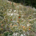 Alpine Prickly Currant