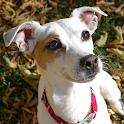 Jack Russell Terriers Wallpap icon