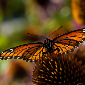 Butterfly by Al Duke - Animals Insects & Spiders ( butterfly, animal, butterfy )