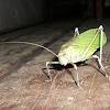 Katidid or Bush Cricket