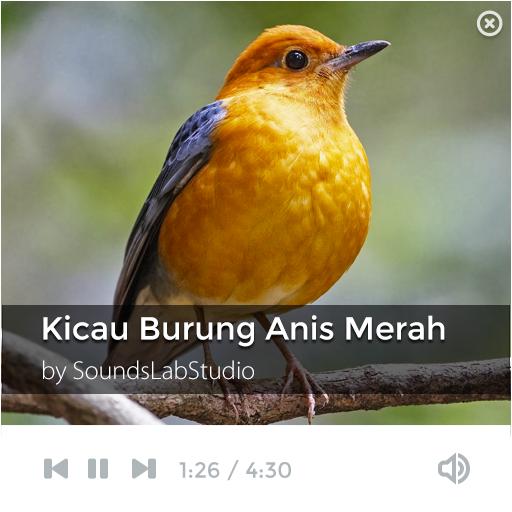 Kicau Burung Anis Merah