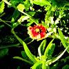 Indian Blanketflower