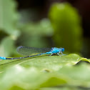 Common Blue Damselfly (Aus)
