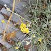 Eternal Flower (Ελίχρυσο)