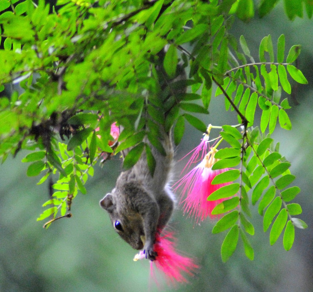 Indian Palm Squirrel or Three-Striped Palm Squirrel