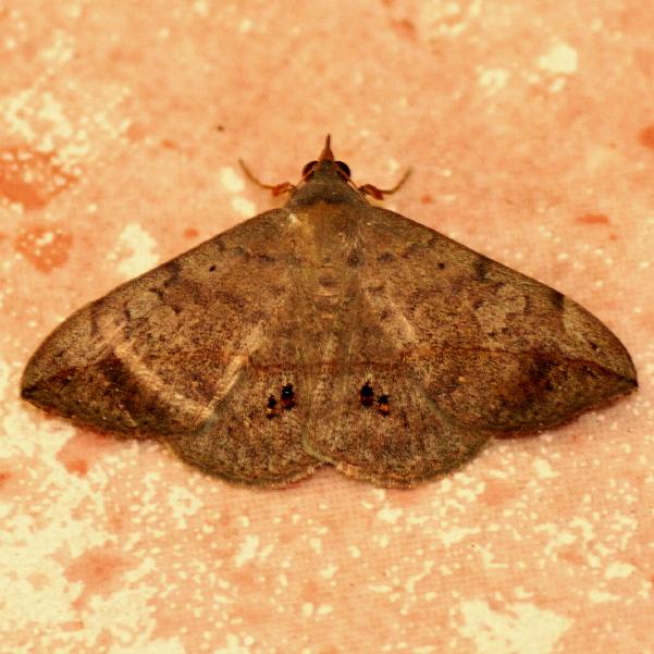 Velvet Bean Caterpillar Moth