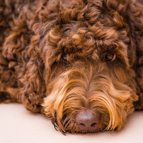 Pensive Doodle by Adam Collins - Animals - Dogs Portraits ( australian labradoodle, chocolate, thinking, labradoodle, deep dog thoughts, relaxing )