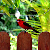 Brazilian tanager (Tie-sangue)