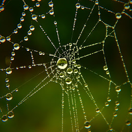 drops on web by Nenad Milic - Nature Up Close Webs (  )