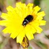 Black beetle; Escarabajo negro