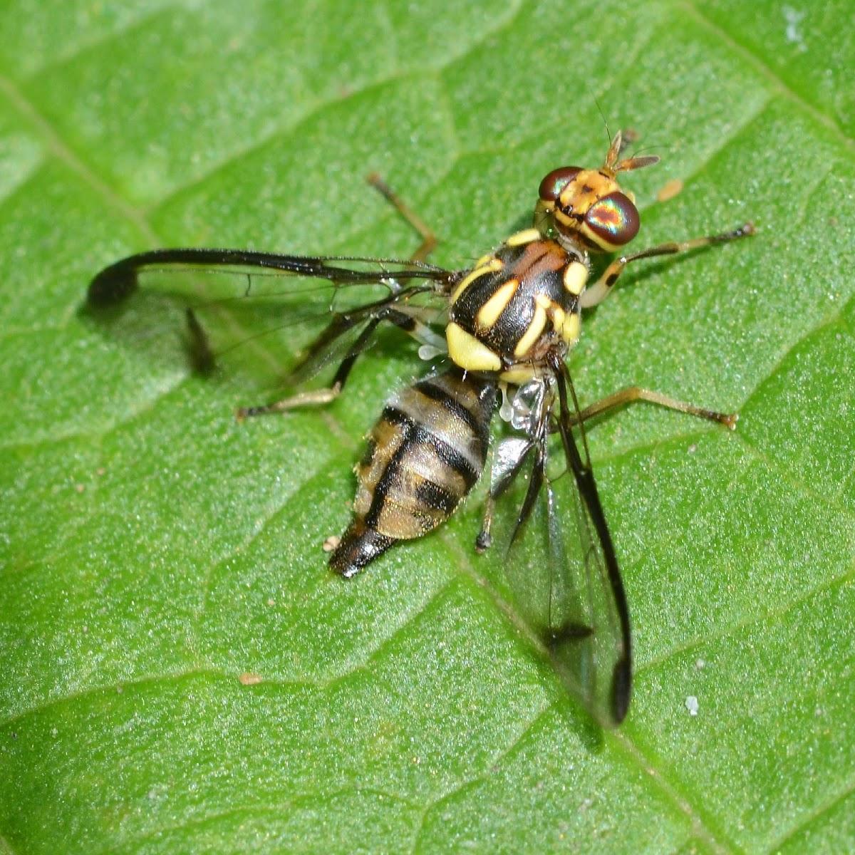melon fruit fly