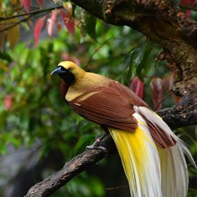 Cendrawasih The Bird of Paradise by Rizaldy Rizkie - Animals Birds ( bird, aviary, aves, zoo, burung, indonesia, safaripark, animal,  )
