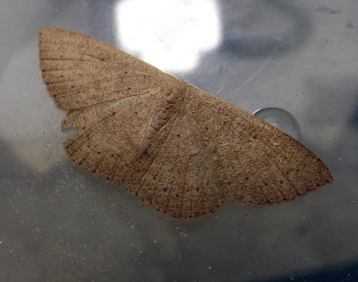 Orange-grounded Delicate (moth)