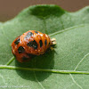 Lady beetle pupae