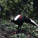 藍腹鷳Swinhoe's Pheasant