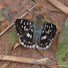 Indian Grizzled Skipper