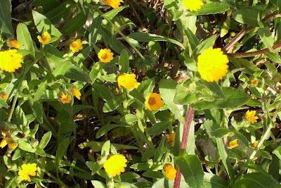 Calendula arvensis, Acker-Ringelblume, erva-vaqueira, field marigold, field-marigold, Fiorrancio selvatico, maravilla del campo, souci des champs