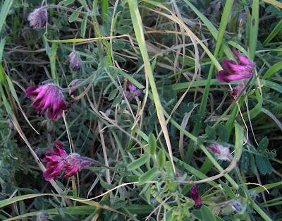 Vicia atropurpurea, purple vetch, Purpurwicke, Veccia rosso-nera, vesce de Bengale, vesce pourpre foncé, veza purpúrea