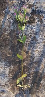 Centaurium pulchellum, branched centaury, Centauro elegante, Slender Centaury