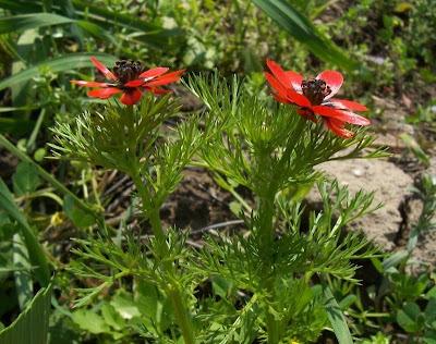 Adonis microcarpa, Adonide a frutto piccolo, pheasant's-eye, red-chamomile, Small Pheasant's Eye, small-fruit pheasant's-eye