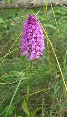 Anacamptis pyramidalis, Orchide, Pyramidal Orchid