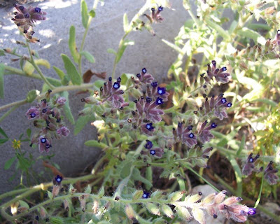 Anchusa hybrida, Buglossa ibrida
