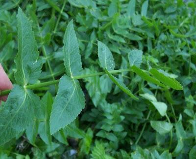Apium nodiflorum, crescione, erba cannella, European marshwort, Gorgalestro, Sedano d'acqua, Water Parsnip