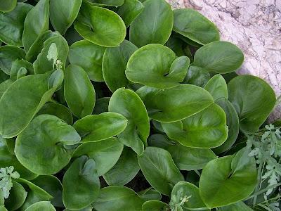 Arisarum vulgare, Arisaro comune, candeias, candilejos, gouet à capuchon, Larus