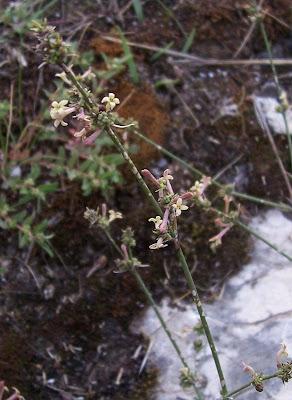 Asperula cynanchica, Squinancywort, Stellina comune