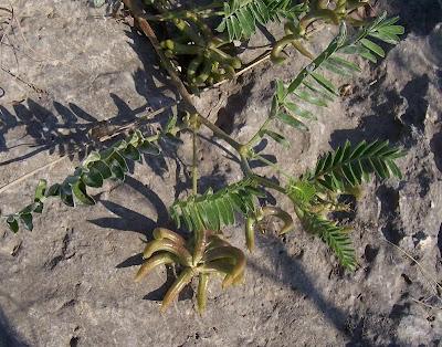 Astragalus hamosus, Astragalo falciforme, European milkvetch, milkvetch, Southern Milk Vetch