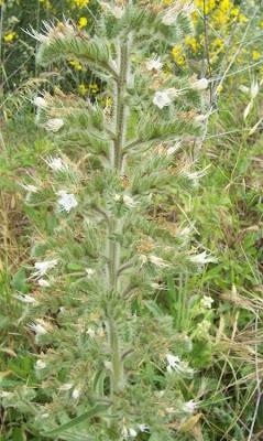 Echium italicum, borrago-italiano, Italian viper's bugloss, Italian vipersbugloss, Italian-bugloss, Pale Bugloss, Viperina maggiore siciliana