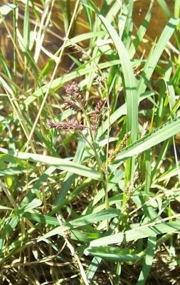 Echinochloa colonum, arrocillo, Colona-Hühnerhirse, Giavone meridionale, milhã-listrada, panic des cultivateurs