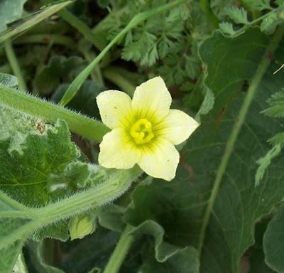 Ecballium elaterium, Cocomero asinino, momordique, pepinillo del diablo, pepino-selvagem, Schizzatti, Spritzgurke, squirting cucumber, squirting-cucumber
