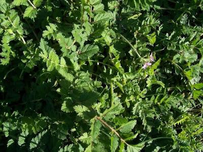 Erodium moschatum, agulheira-moscada, Becco di grù aromatico, hierba de almizcle, Moschus-Reiherschnabel, musk-clover, muskus-grass, musky stork's bill, musky stork's-bill, white-stem filaree, érodium musqué