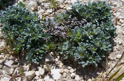 Evax pygmaea, Evax comune, Pygmy Cudweed