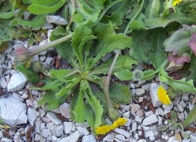 Hedypnois cretica, Cretanweed, Radicchio tubuloso, Scaly Hawkbit