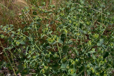 Euphorbia terracina, Coastal Spurge, Euforbia di Terracina, false caper, Geraldton carnation weed, Geraldton carnation-spurge, Geraldton carnation-weed, leiteira