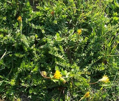 Hyoseris scabra, Annual Hyoseris, Radicchio ruvido
