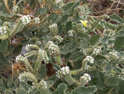 Heliotropium europaeum, barooga-weed, caterpillar-weed, Eliotropio selvatico, Erba porraia, erva-das-verrugas, European heliotrope, European turnsole, heliotrope, heliotropo común, heliotrópio-europeu, hemp-agrimony, héliotrope d' Europe