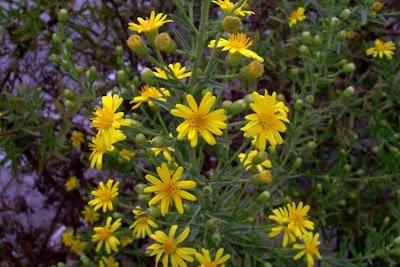 Inula viscosa, Enula cepittoni, false yellowhead, Pruteca, Pulicara